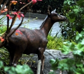Columbian Blacktail Deer